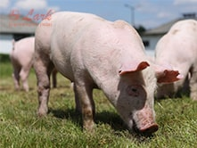 pig-farming-and-pig-feed-machines