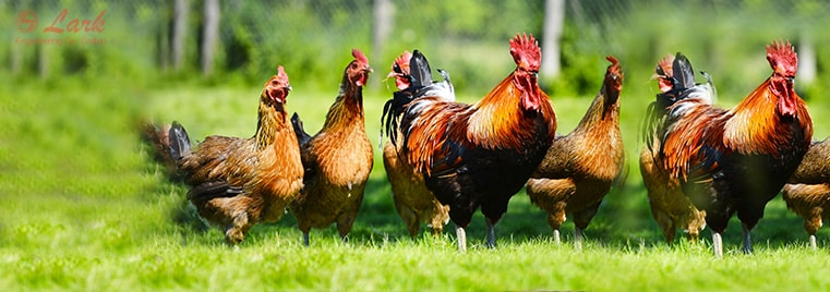 poultry-farming-and-poultry-machines